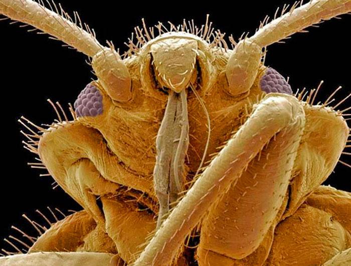 Клоп под микроскопом – фото