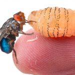 Личинки овода в теле человека: откуда берутся под кожей и чем они опасны?