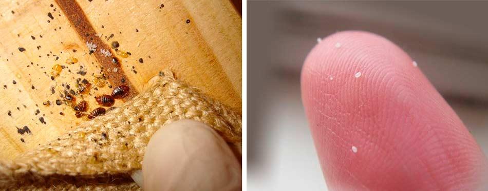 Как выглядят яйца клопов – размер, фото