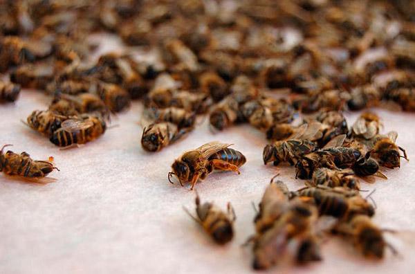 Погибают пчёлы - причины вымирания медоносных пчёл