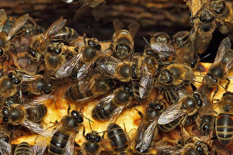 Пчелы вымирают в мире