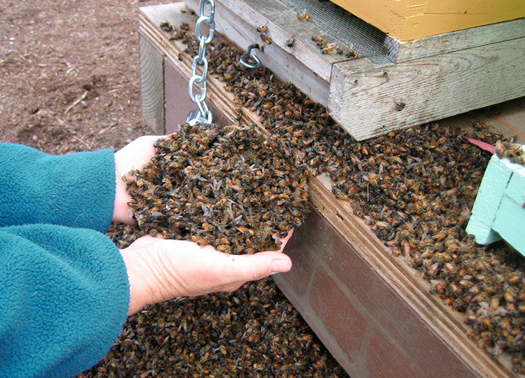 Почему вымирают пчёлы - причины и последствия