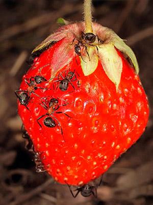 Черные садовые муравьи едят клубнику