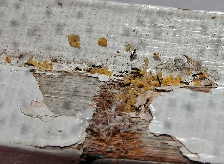 Гнездо муравьев в доме - как избавиться?