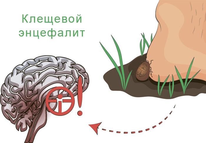 Как клещ заражается энцефалитом
