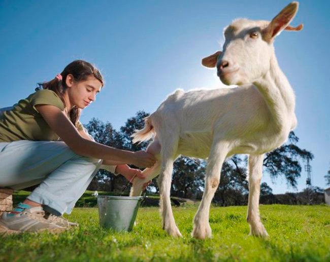 Клещевой энцефалит может передаваться через козье молоко