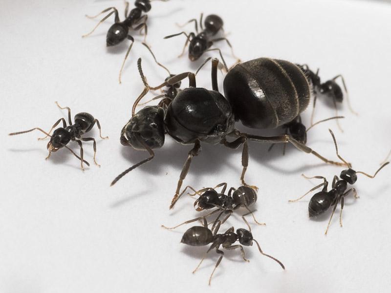 Матка черного садового муравья большая