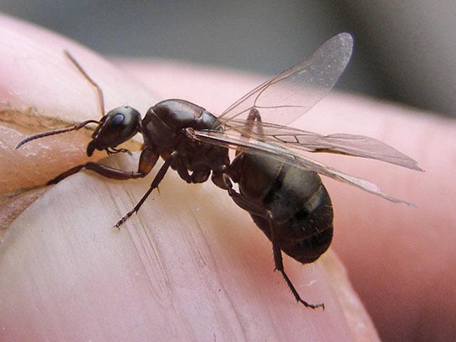 Матка черного муравья с крыльями