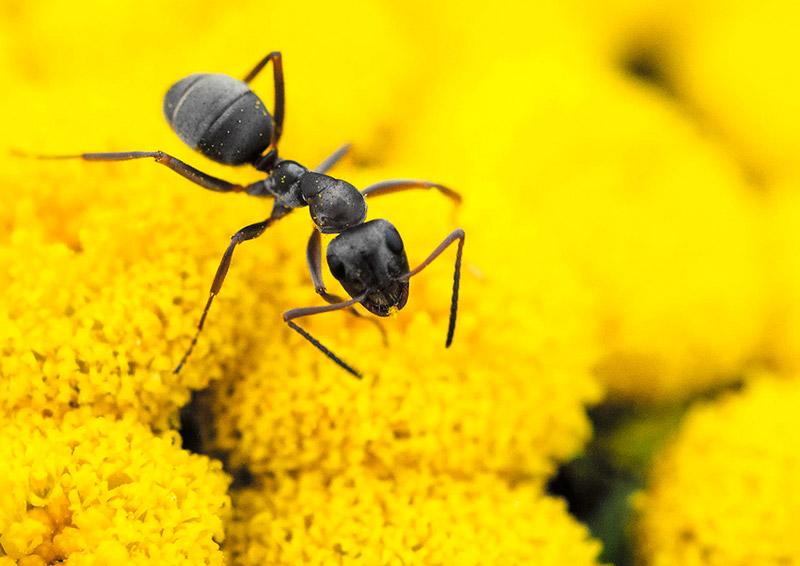 Черные муравьи вредят садовым цветам на даче