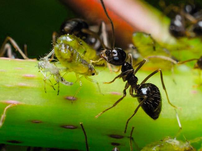Черные садовые муравьи разводят тлю на участке