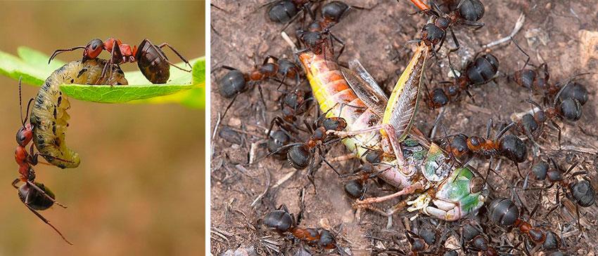 Польза садовых муравьев - уничтожают вредителей