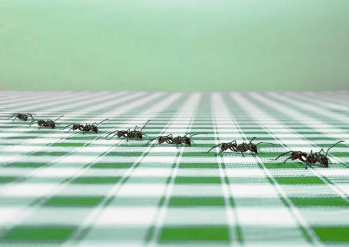 Почему в доме появились муравьи