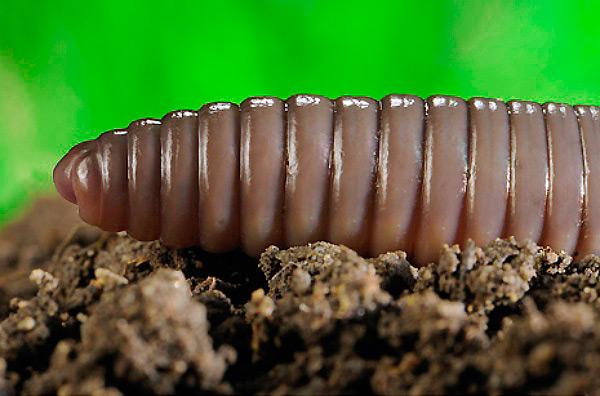 Строение тела дождевого червя - кольца на теле