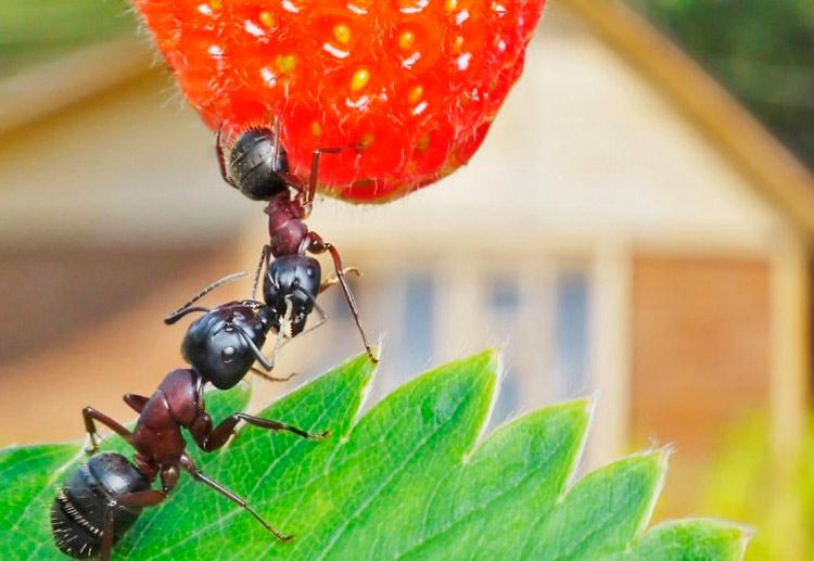 Как избавиться от рыжих муравьв в огороде