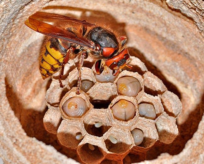 Размножение и гнездо шершня