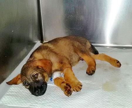 Лечение собаки после укуса клеща нужно начинать своевременно
