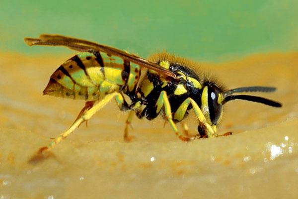 Можно ли умереть от укуса осы?