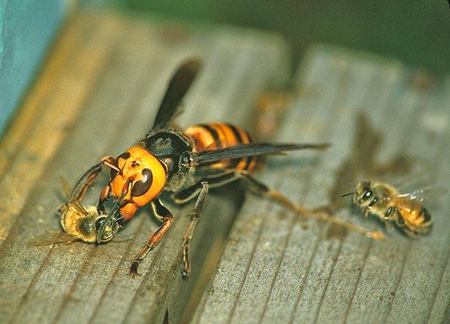 Шершни нападают на пчел и их улеи