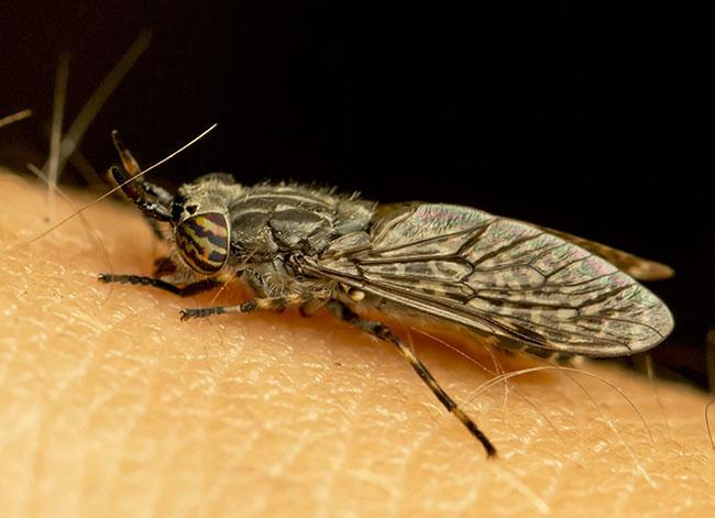 На фото муха слепень кусает человека
