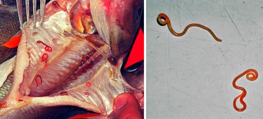 почему глисты только в рыбе