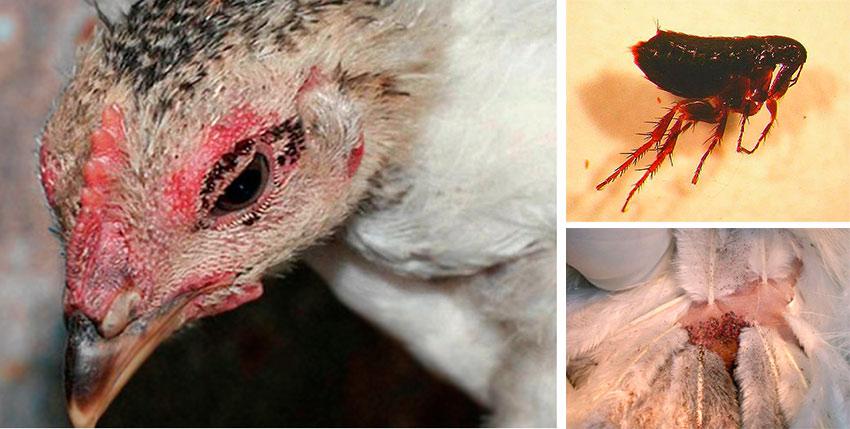 Куриные блохи - как избавиться в курятнике и вывести своими силами