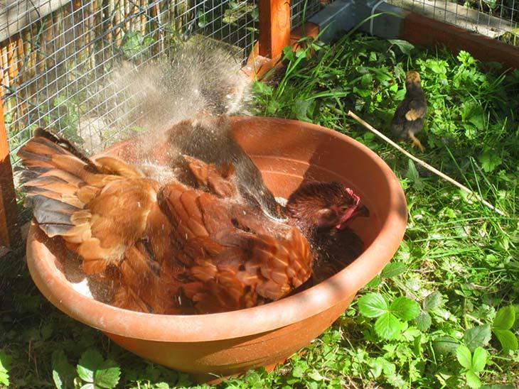 Зола от куриных блох