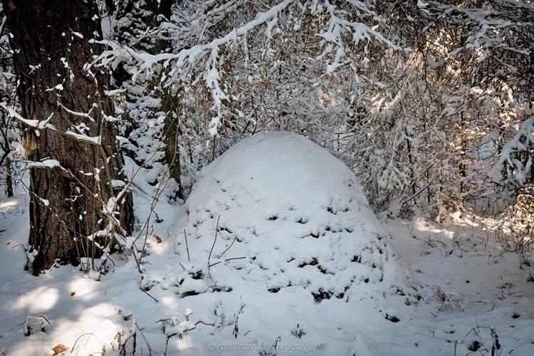 Муравейник зимой, почему муравьи не замерзают?