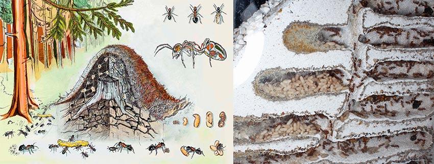 Как муравьи зимуют и готовятся к зиме?