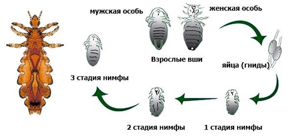 Развитие и жизненный цикл вшей схема