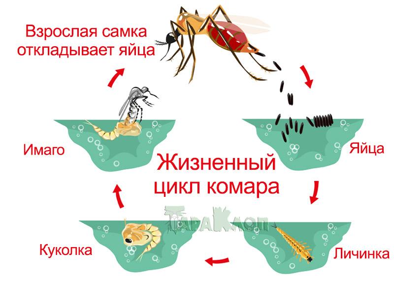 Жизненный цикл и развитие комара