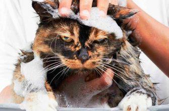Вши у кошек - могут ли завестись и способны ли перейти к человеку?