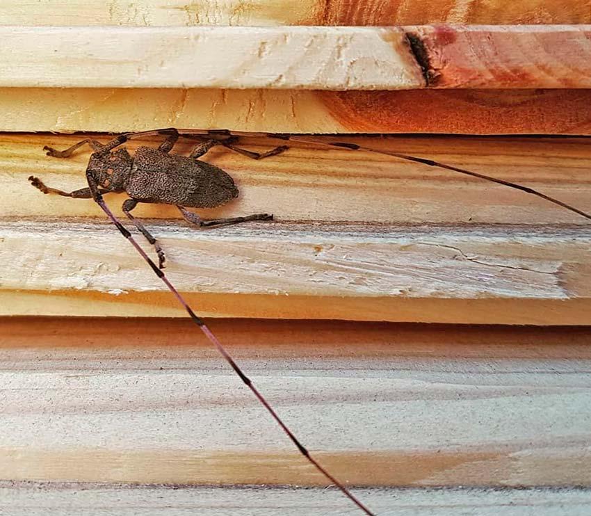 Жук усач дровосек в доме - что делать и как избавиться?