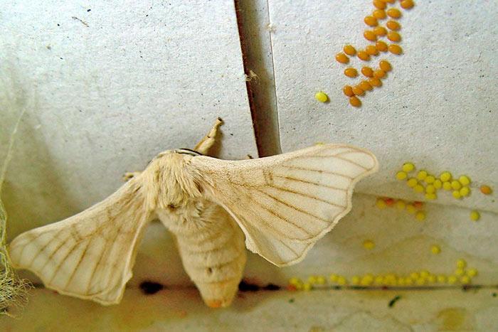 Бабочка тутового шелкопряда откладывает яйца
