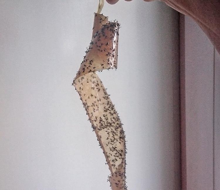 Липкая лента от мух дрозофил