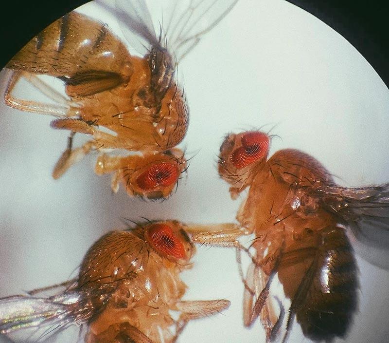 Муха дрозофила под микроскопом - исследование