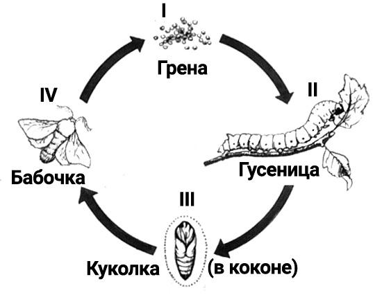 Жизненный цикл шелкопряда