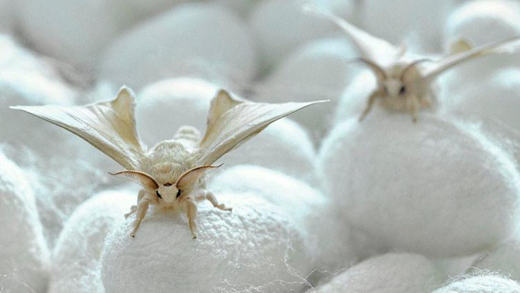 Тутовый шелкопряд – описание насекомого