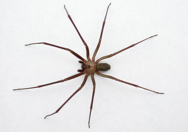Ядовитый паук отшельник