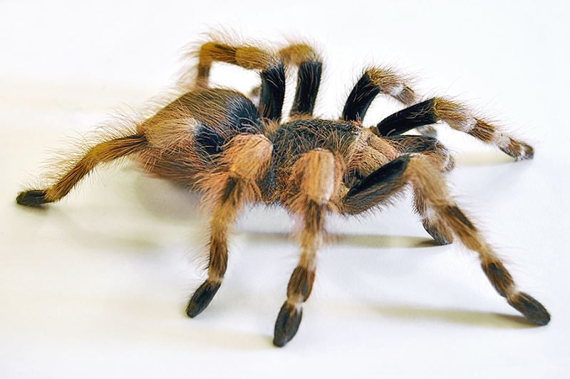 Паук Птицеед (Theraphosidae)