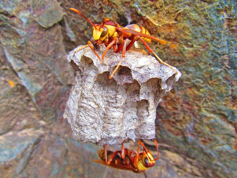 Гнездо осы палача (Polistes carnifex)
