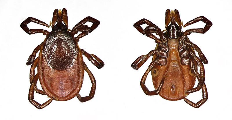 Таёжный клещ Ixodes persulcatus – описание, образ жизни, опасность для человека, фото
