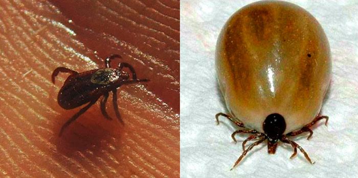 Клещи самец и самка - сравнение на фото