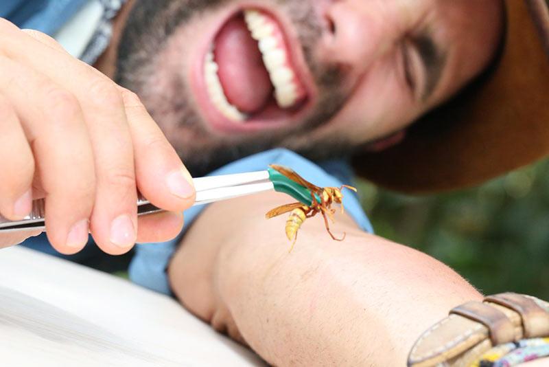 Укус осы палача – сила, опасность для человека