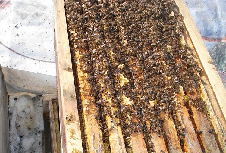 Пчелы зимой в улее