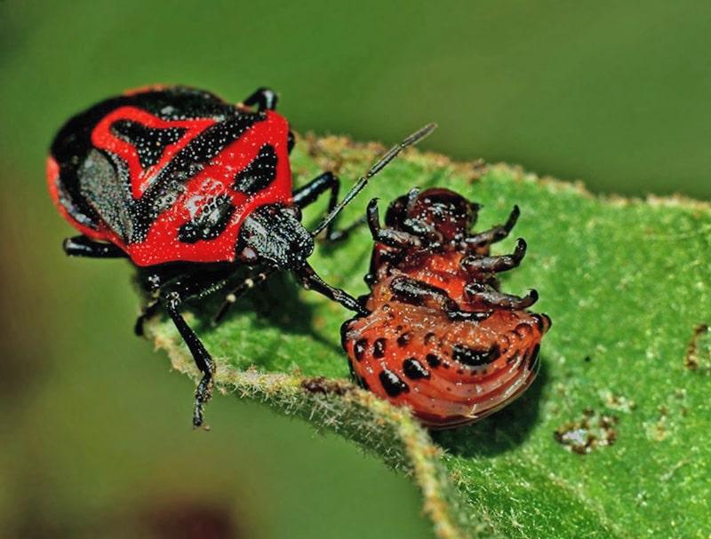 Клоп периллюс ест личинку колорадского жука