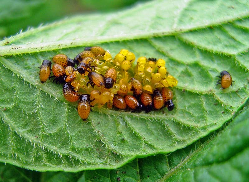 Личинки колорадского жука вылупляются из яиц