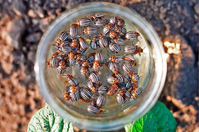 Колорадские жуки – образ жизни, внешний вид и способы борьбы