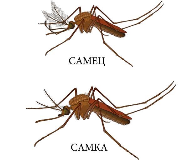 Отличие самца комара от самки