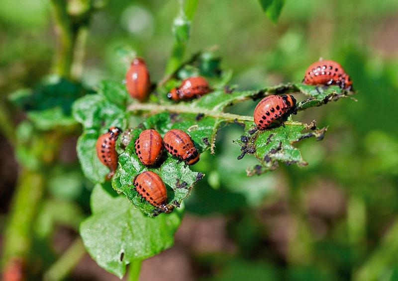 Подросшие личинки колорадского жука поедают картофельные листья