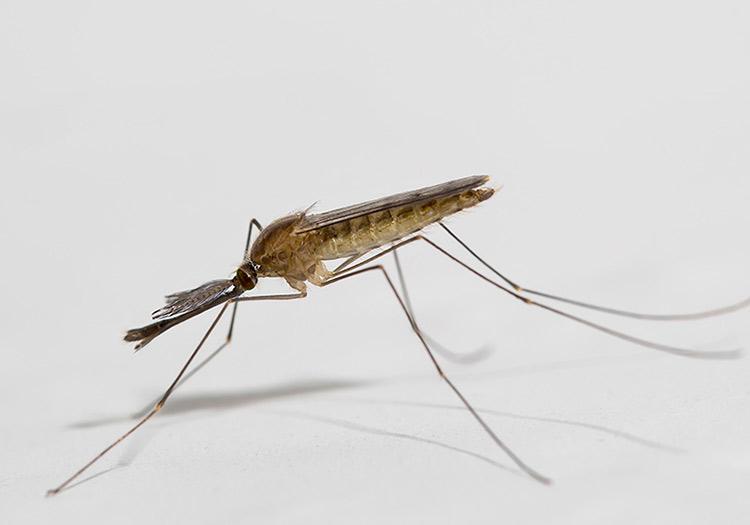 Малярийный комар Анофелес